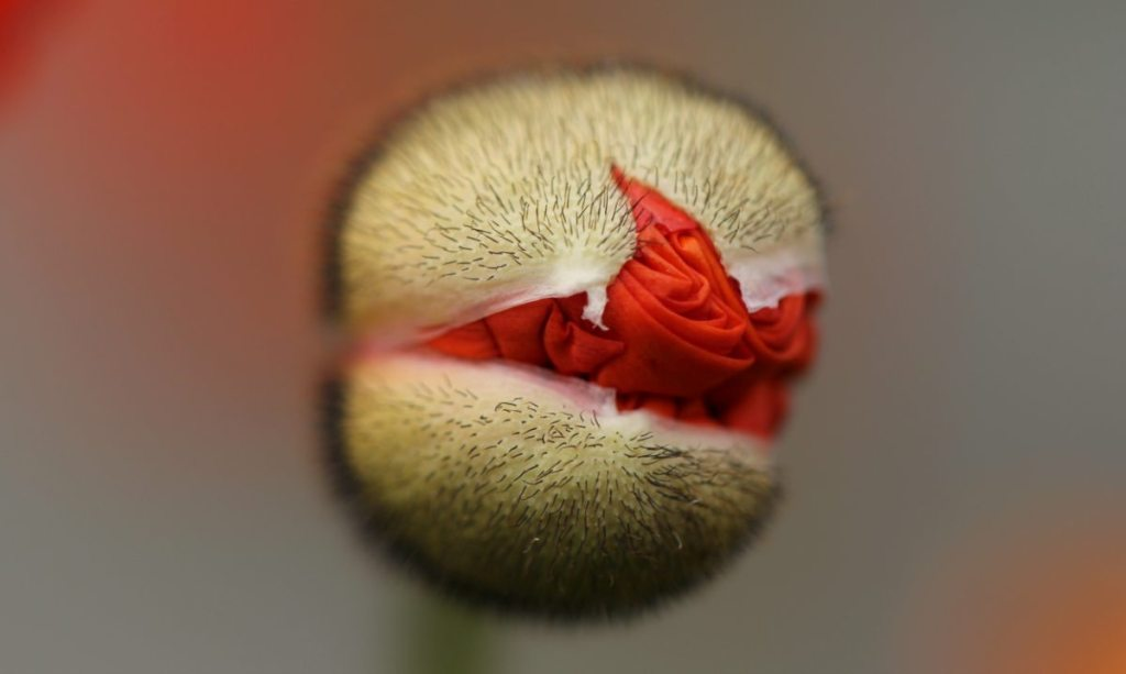 healing_world_thats_breaking_open_without_breaking_down_poppy_bud