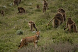 The cozy alliance between Ethiopian wolves and gelada monkeys explained – New Scientist