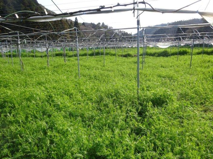 ブドウ園の草刈り