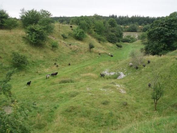 Udsigt over får og lam i mergelgraven