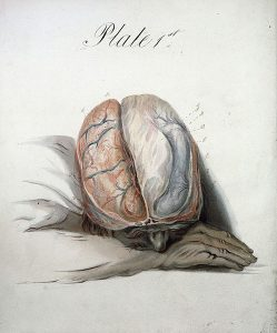Watercolour of the brain by Sir Charles Bell by Wellcome Library | CC Attribution 2.0 UK: England & Wales License