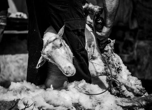 Merino Sheep Shearing