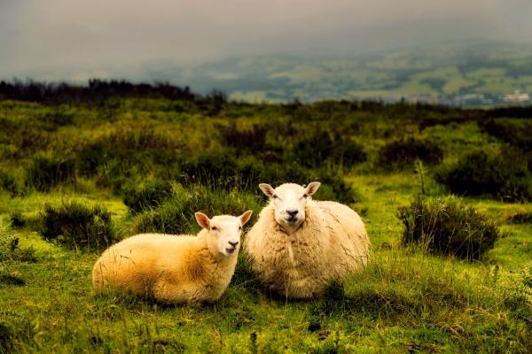 Sheep laying in a pasture