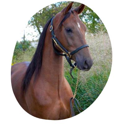 Stat animal of vermont Morgan Horse