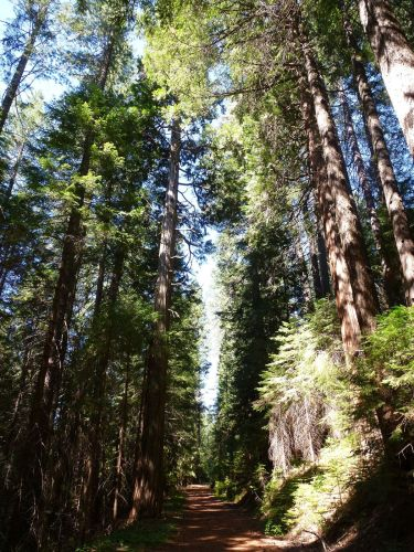 Tall trees on upper Shirtail Creek