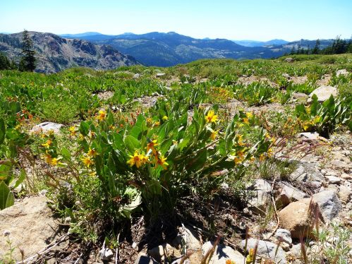 Top of the crest, Mule ears