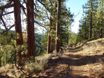 Sawtooth Trail ponderosas