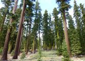 Tall trees, Road 12 out of the Jackson Meadows area