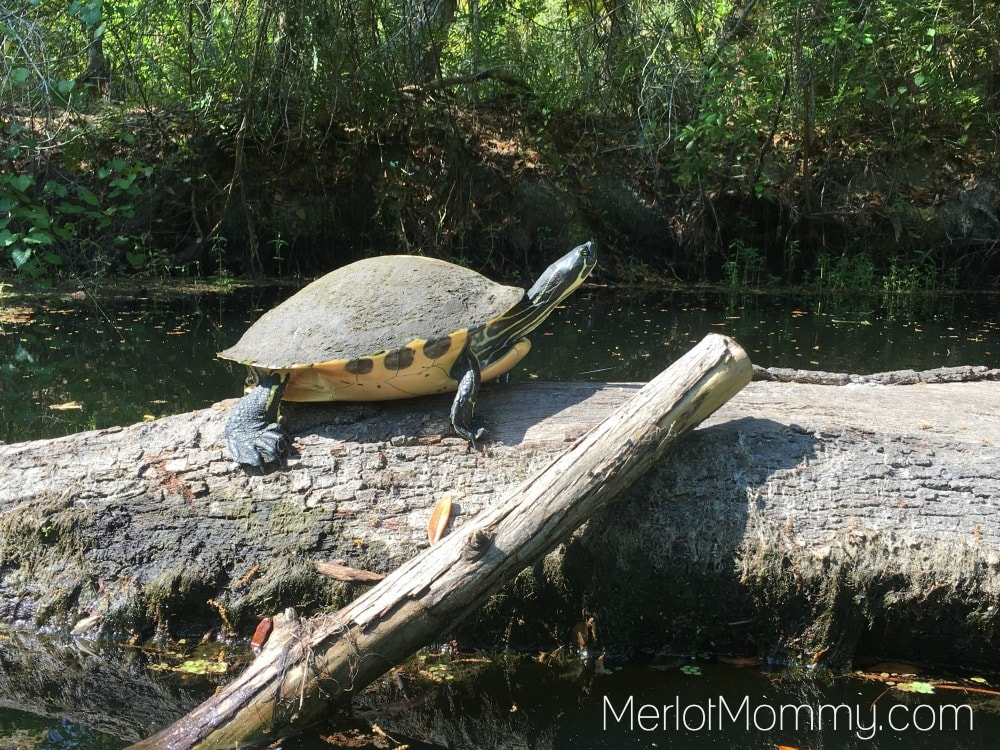 Adventure Kissimmee for Adults: Florida Cooter