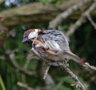 Itchy Sparrow