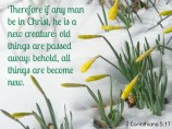 Scripture--2 Corinthians 5:17 written on the snow that is surrounding daffodils