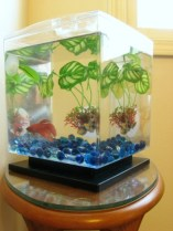Red Betta fish in a cube-shaped tank with blue marbles and greenery