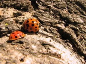 ladybugs on a tree trunk on a sunny spring day