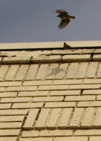 sparrow in flight with it's shadow and mate on white brick wall