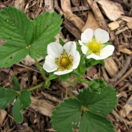 strawberry blooms at different stages of development in the garden
