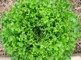 bright green bunch of crinkled green leaf lettuce growing in the garden