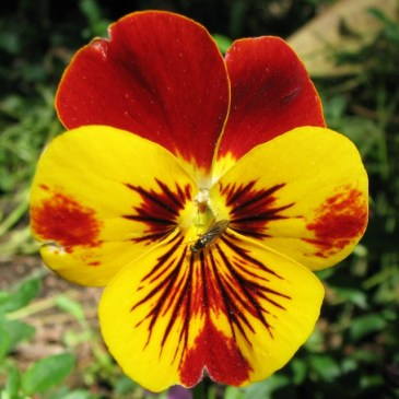 macro photo of yellow and red pansy with bug