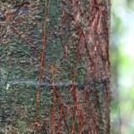 kb palm bark