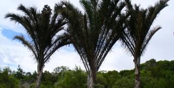 Palm Fact of the Week:  Raffia Palm