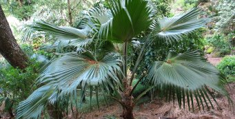 Palm Fact of the Week:  Moloka'i Pritchardia