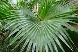 Palm Fact of the Week: Pritchardia forbesiana