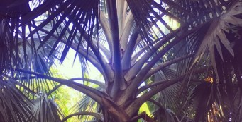 Palm Fact of the Week: Bismarckia nobilis