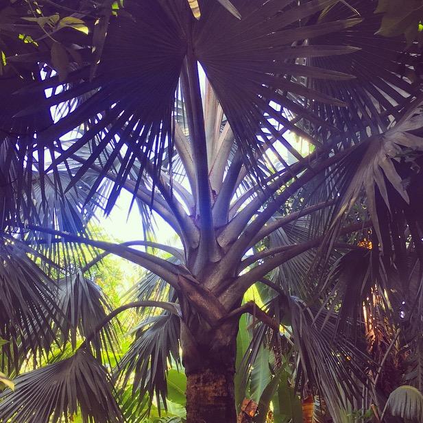 Bismarckia nobilis - The Merwin Palm Collection