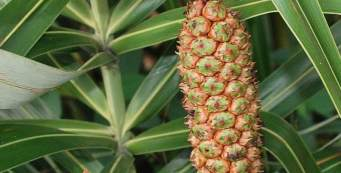 Palm Fact of the Week: Allagoptera arenaria