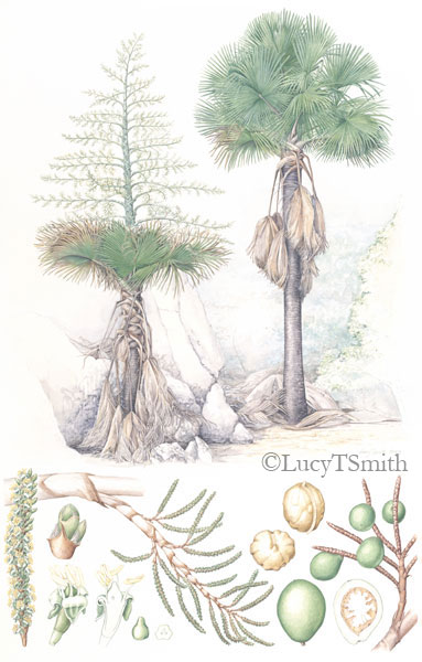 Tahina spectabilis oainting by Lucy Smith