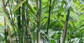 Featured Palm: Chamaedorea seifrizii or Bamboo Palm