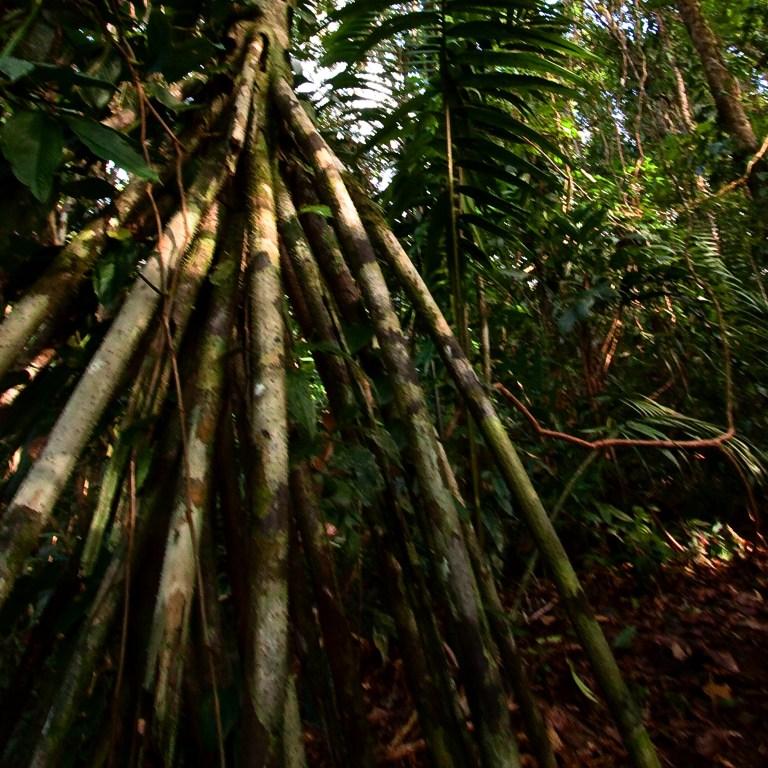 Walking Palm or Socratea exorrhiza, Photo by Wanja Krah