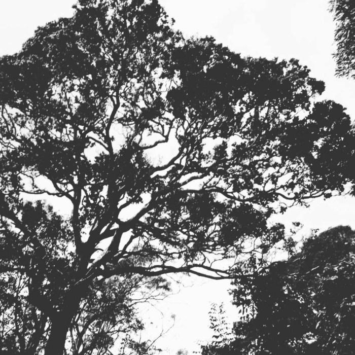 Ohia Lehua in the Waikamoi Preserve by Sara Tekula
