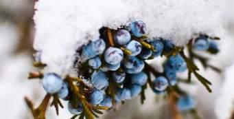Ashley Bowen - Snow on Juniper