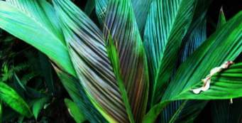 Featured Palm: Asterogyne spicata