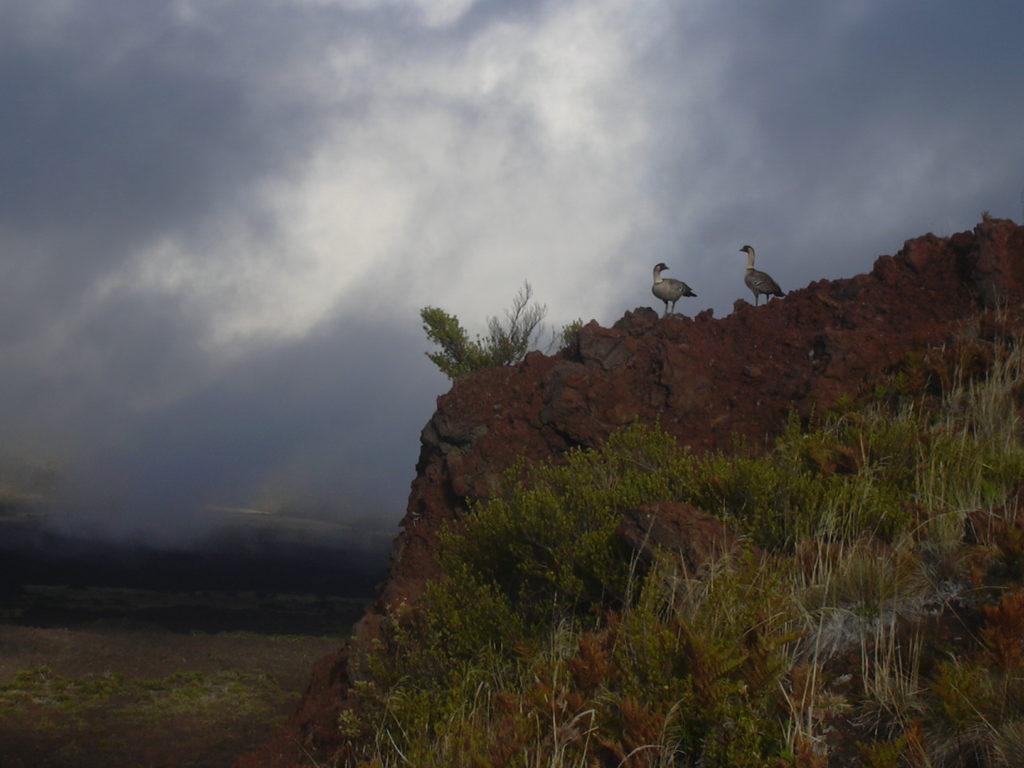 Nene at Namana o ke Akua Haleakala National Park, Maui, Hawaii. Photo: Forest & Kim Starr