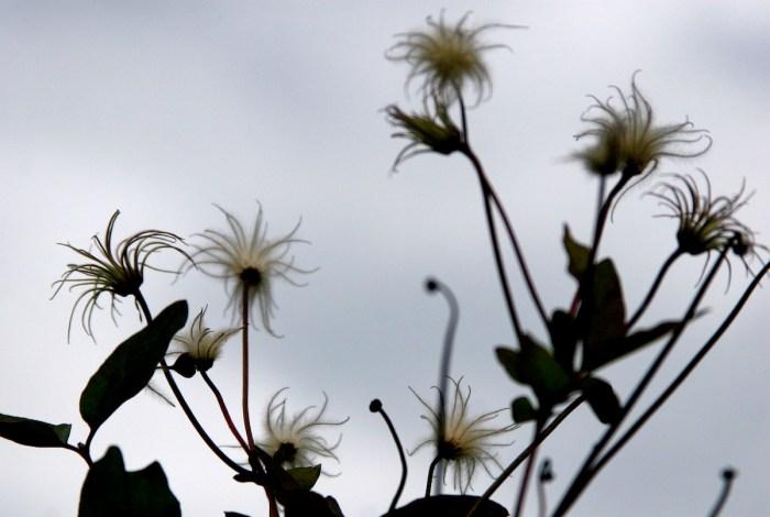 """""""Autumn Clematis"""" by Liz West -"""