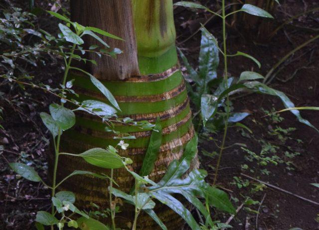 Featured Palm: Carpoxylon macrospermum