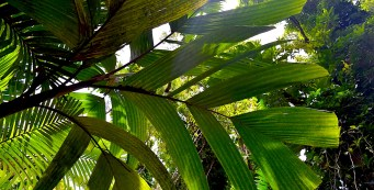 Featured Palm: Hydriastele dransfieldii