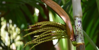 Featured Palm: Hydriastele microspadix