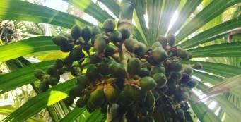 Palm of the Week: Areca novohibernica
