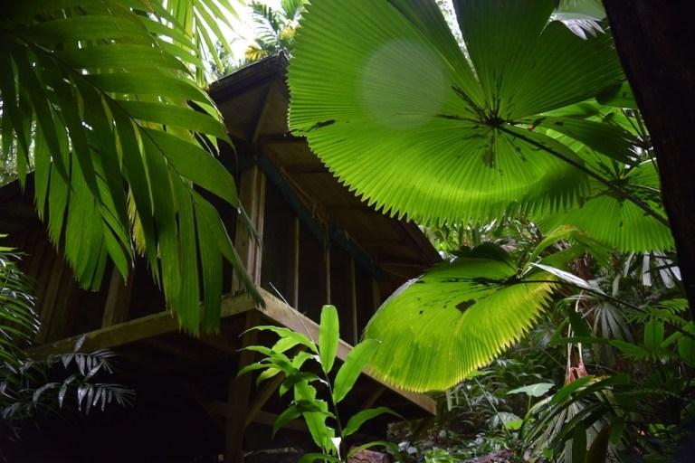 Licuala peltata under W.S. Merwin's garden dojo