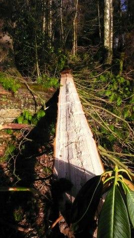 Conifer split in two