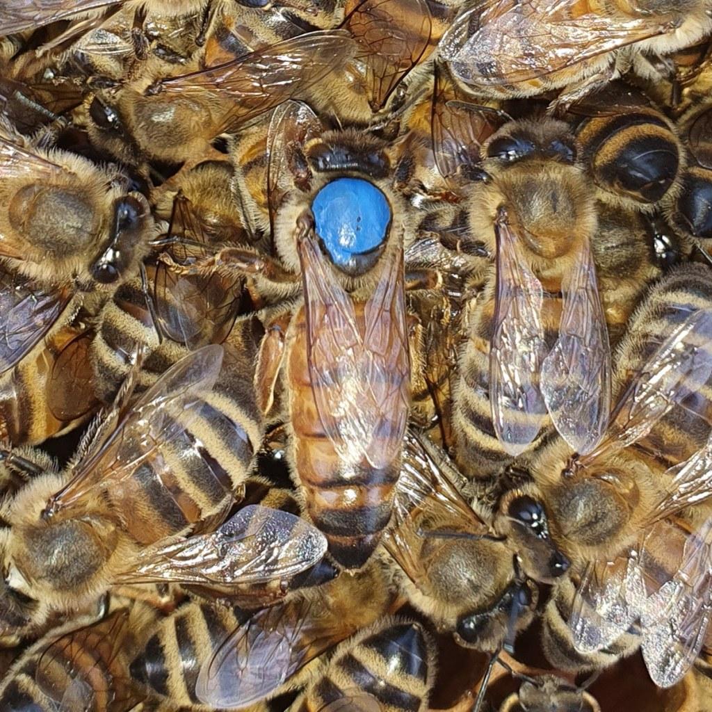 Reine fécondée buckfast marqué bleu