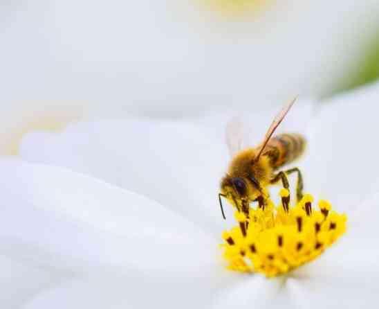 une abeille butine une fleur
