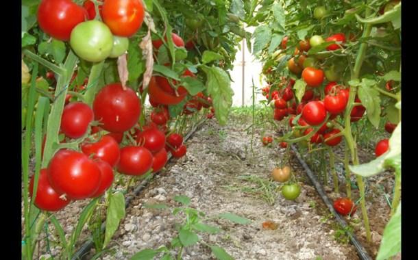 Noi fonduri alocate în sprijinul producătorilor de tomate