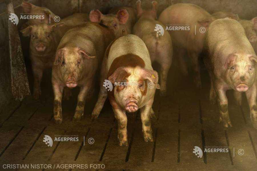 Pestă porcină africană confirmată în trei gospodării din judeţ