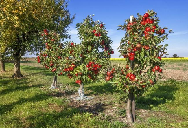 Din 14 aprilie, locuitorii din Chilieni şi Coşeni pot prelua puieţii de pomi fructiferi solicitaţi