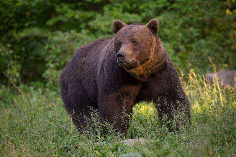 OUG privind intervenţia în cazul atacurilor urşilor va fi adoptată în următoarea şedinţă de Guvern, afirmă ministrul Mediului