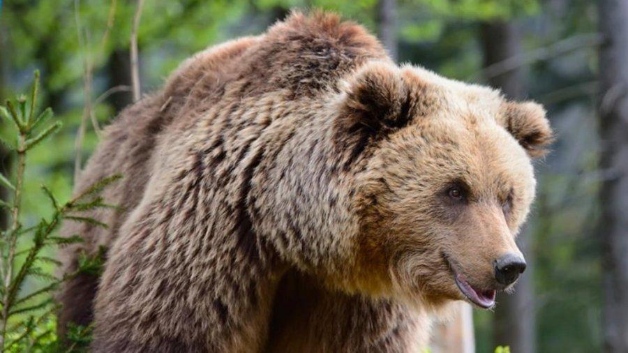 Prefectul Raduly Istvan: Problemele cauzate de urşi au devenit de nesuportat