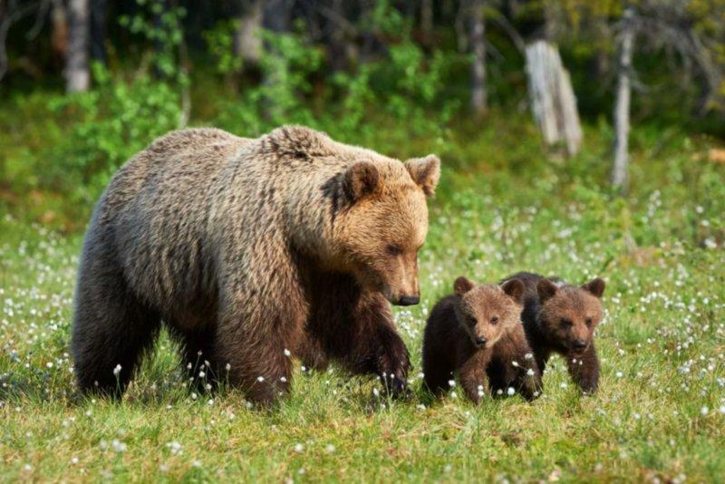 Prezenţa unei ursoaice cu pui în oraşul Întorsura Buzăului, semnalată printr-un mesaj Ro-Alert